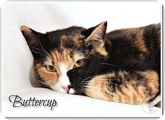 Domestic Shorthair Cat for adoption in Atlanta, Georgia - Buttercup