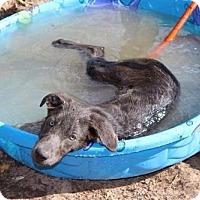 Adopt A Pet :: Piper - Hartford, VT