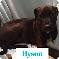 Adopt A Pet :: Hyson - Fort Collins, CO