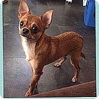 Adopt A Pet :: Lemur - im tiny! - Spring Valley, NY