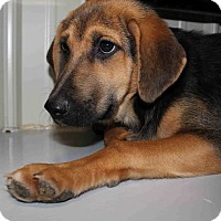 Adopt A Pet :: Shireen - Frederick, MD