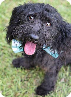 Poodle (Miniature)/Portuguese Water Dog Mix Dog for adoption in Glastonbury, Connecticut - Mitchell