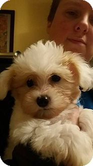 Terrier (Unknown Type, Medium)/Terrier (Unknown Type, Medium) Mix Puppy for adoption in Custer, Washington - Lexi Pup Penny (pink)