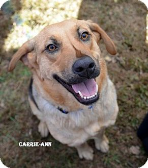 Retriever (Unknown Type)/Hound (Unknown Type) Mix Dog for adoption in Independence, Missouri - Carrie-Ann