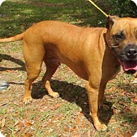 Boxer Mix Dog for adoption in Sanford, Florida - AXEL