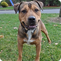 Rottweiler Mix Dog for adoption in Middlebury, Connecticut - Stewart