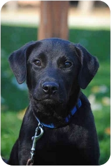 Labrador Retrievers for Sale in Rochester | Dogs on Oodle ...