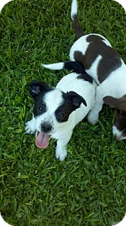 Rat Terrier/Lhasa Apso Mix Puppy for adoption in Bakersfield, California - Panda
