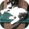 Domestic Shorthair Cat for adoption in Powell, Ohio - Greta