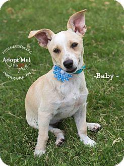 Dachshund/Chihuahua Mix Puppy for adoption in Gilbert, Arizona - Baby