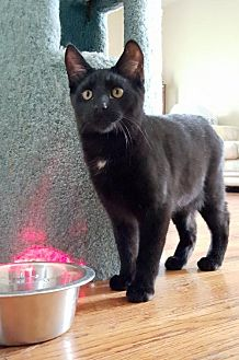 Domestic Shorthair Cat for adoption in Spring Lake, New Jersey - Peter