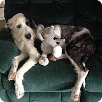 Adopt A Pet :: Nickolas-adoption pending - Norwalk, CT
