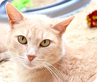 Domestic Shorthair Cat for adoption in Middletown, Ohio - Winona