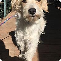 Adopt A Pet :: Macy - Santa Ana, CA
