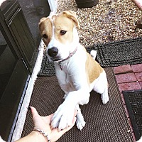 Hound (Unknown Type)/Boxer Mix Dog for adoption in Lehigh Acres, Florida - Ellie