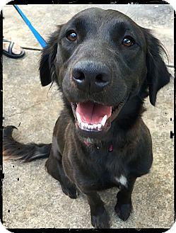 Spaniel (Unknown Type)/Springer Spaniel Mix Dog for adoption in Johnson City, Texas - Salma