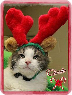 Domestic Shorthair Kitten for adoption in Shippenville, Pennsylvania - Charlie