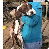 Hound (Unknown Type) Mix Puppy for adoption in Manhasset, New York - Dasie