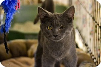 Domestic Shorthair Kitten for adoption in Byron Center, Michigan - Sampson