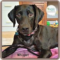 Adopt A Pet :: Whippet - Plainfield, IL