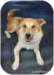Australian Shepherd/Labrador Retriever Mix Dog for adoption in Los Angeles, California - Sugar