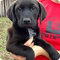 Adopt A Pet :: Huckleberry - Richmond, VA