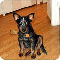Adopt A Pet :: Taz - Scottsdale, AZ