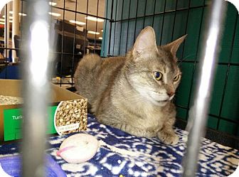 Domestic Shorthair Cat for adoption in Avon, Ohio - Roweina