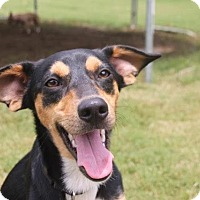 Adopt A Pet :: Teeko - Knoxville, TN