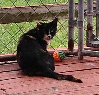 Calico Cat for adoption in Middletown, New York - Cayenne