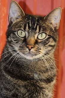 Domestic Shorthair Cat for adoption in Savannah, Missouri - Ricky