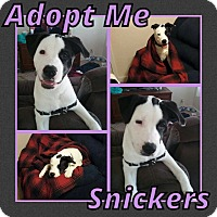 Adopt A Pet :: Snickers - Cheney, KS