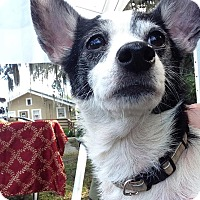 Adopt A Pet :: Christy - Windermere, FL