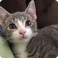 Adopt A Pet :: Basil - Hampton, VA