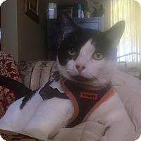 Domestic Shorthair Kitten for adoption in Santa Ana, California - Cody (A)