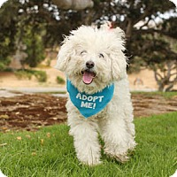 Adopt A Pet :: Bebe Poodle - Pacific Grove, CA