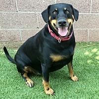 Doberman Pinscher/Shepherd (Unknown Type) Mix Dog for adoption in Anaheim, California - Kalani