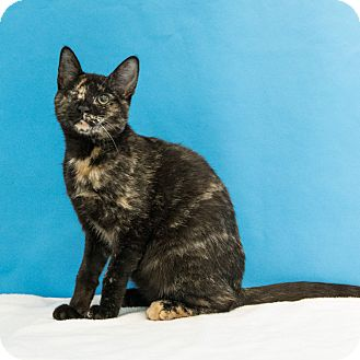 Domestic Shorthair Cat for adoption in Houston, Texas - Leela