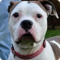 Adopt A Pet :: Jellybean  33407739 - Westampton, NJ