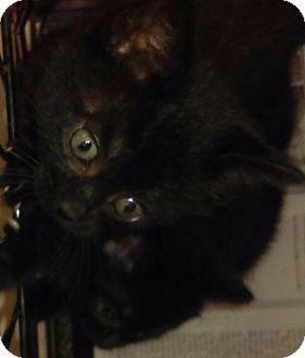 Domestic Shorthair Kitten for adoption in Waverly, New York - G-Sofia