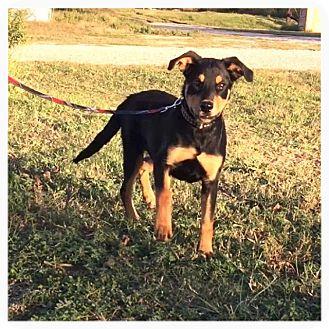Rottweiler Mix Dog for adoption in Comanche, Texas - Pretzel