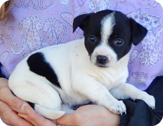 Terrier (Unknown Type, Small)/Australian Shepherd Mix Puppy for adoption in Burlington, Vermont - Dalia (3 lb) Video!