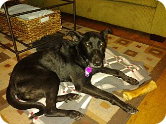 German Shepherd Dog/Schipperke Mix Dog for adoption in Lancaster, Pennsylvania - CJ