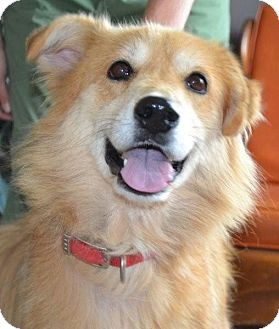 Golden Retriever/Shepherd (Unknown Type) Mix Dog for adoption in Danbury, Connecticut - Belle