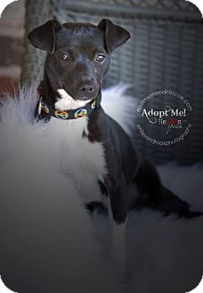 Jack Russell Terrier Mix Puppy for adoption in Charlemont, Massachusetts - Wednesday
