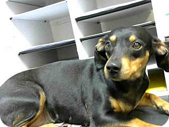 Dachshund Mix Dog for adoption in Lufkin, Texas - Darla