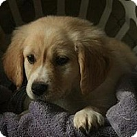 Adopt A Pet :: Maggie ADOPTION PENDING - Danbury, CT