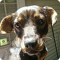 Adopt A Pet :: TORI - Chicagoland area, IL