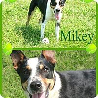 Adopt A Pet :: Mikey - Tampa, FL