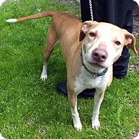 Adopt A Pet :: Roxy II - Tinton Falls, NJ